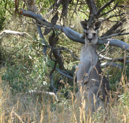 Australië-kangoeroes