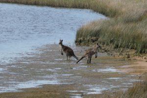 princetown camping kangoeroes