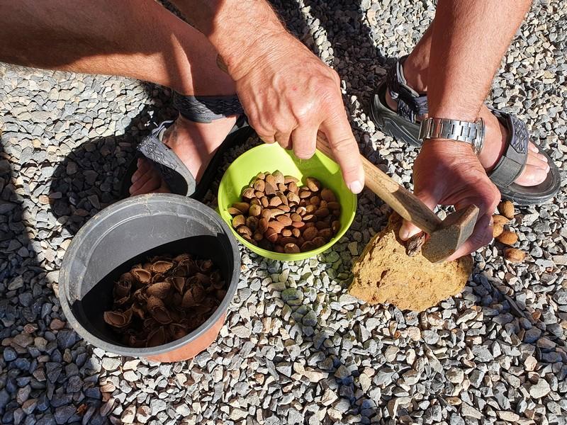 Wim kraakt de amandelen open met een hamer op een steen