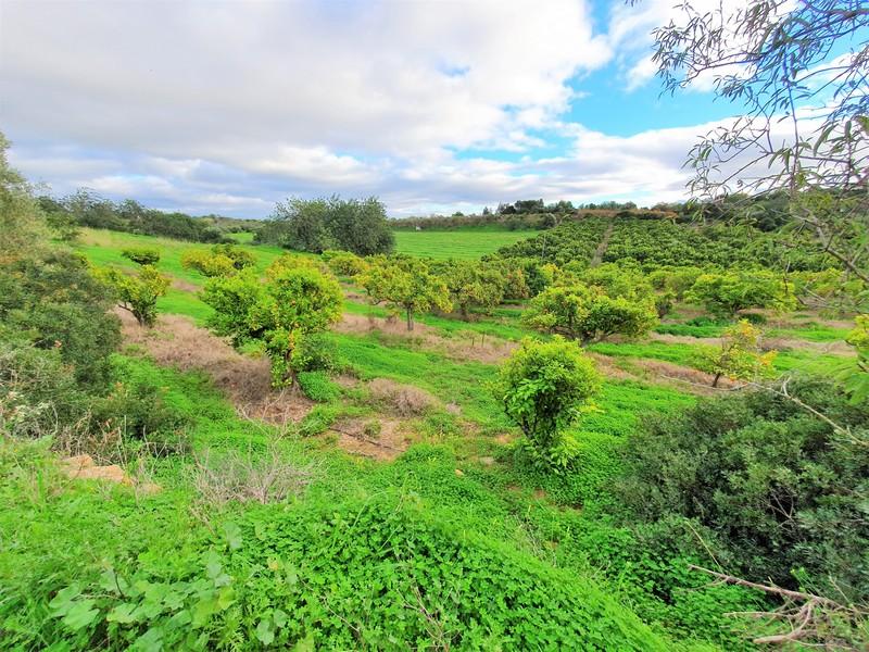 Zicht op groen veld met sinaasappelboomgaard.