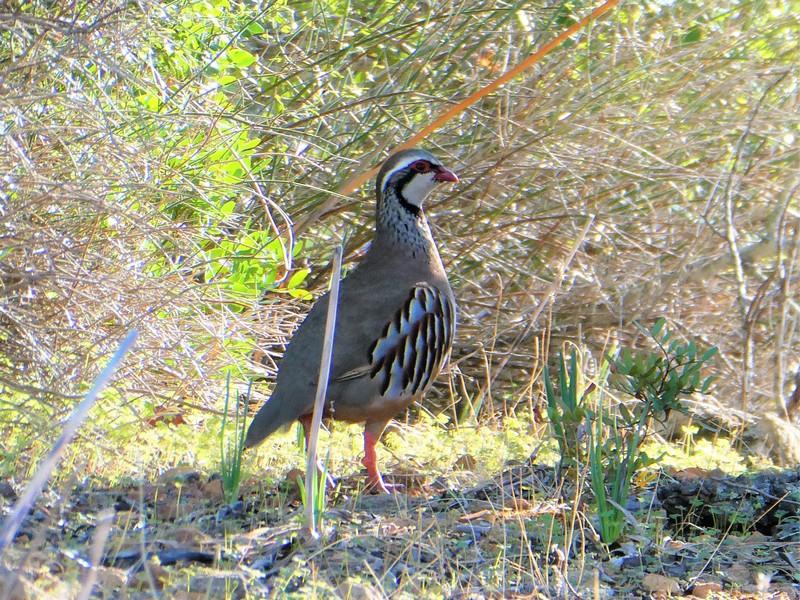 Steenpatrijs - fazantachtige vogel