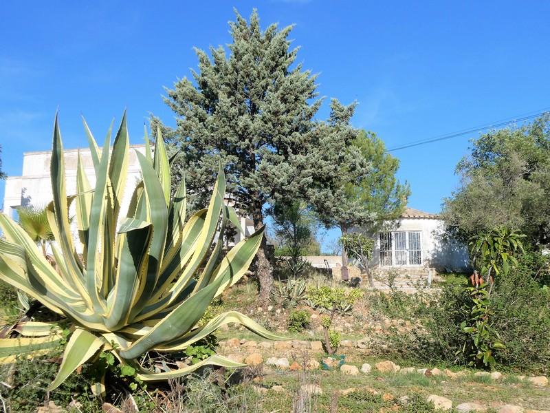 Grote agave bij een huis