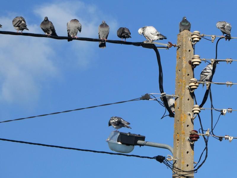 Groep witte en grijze duiven op electriciteitsdraden