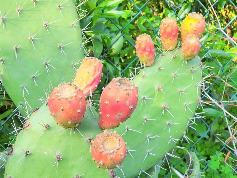 Cactus met vruchten die bijna rijp zijn