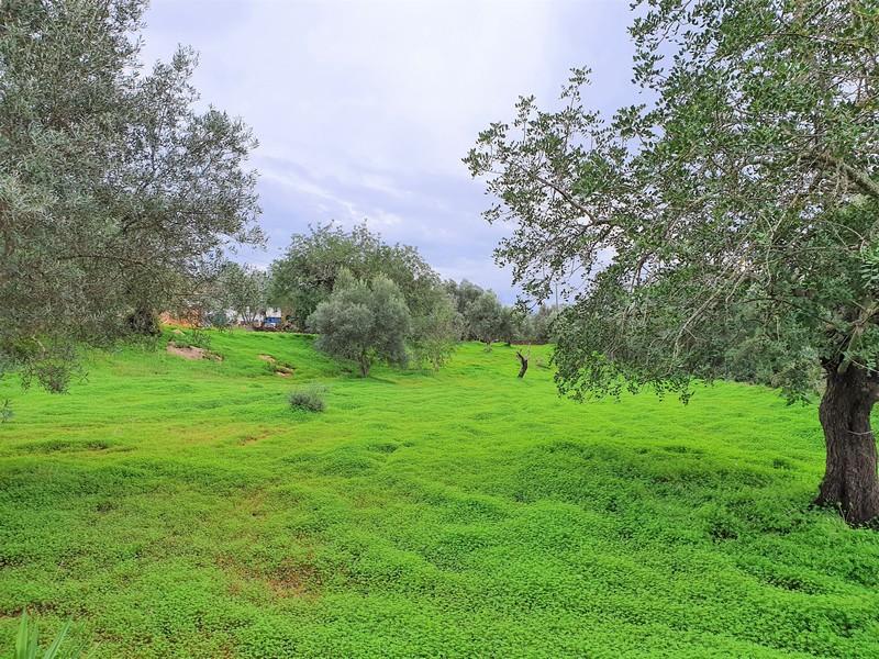 Veld vol groene klaver, met olijfbomen