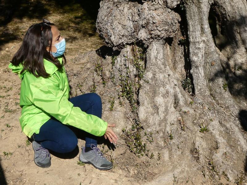 De vrouw die de rondleiding over olijfboerderij Monterosa geeft, laat de takjes onderaan de stam zien, waaraan je kunt weten dat de olijfboom eigenlijk een struik is.